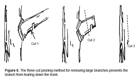 The three-cut pruning method for removing large branches prevents the branch from tearing down the trunk.