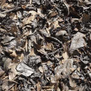 Figure 3. An example of loosely compacted fuels. The dried hardwood leaves often curl up or have rough margins that create a good amount of air space between the leaves..