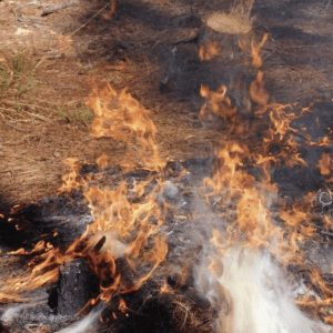 Figure 6. Pine needles ignite rapidly and carry fire more readily due to rosin in pine needles.