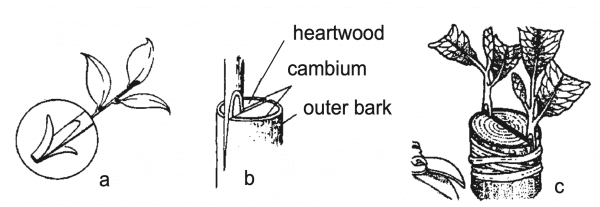 Figure 5. Procedure for cleft grafting: (a) select strong tip cutting, leaving enough stem to trim to a 11⁄2-inch wedge; (b) pry open split in understock and insert scion wedge (be sure to align green inner bark); (c) insert two scions, one on each side of the understock.