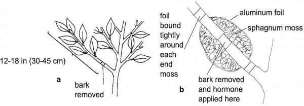 Figure 6. Air layering a camellia