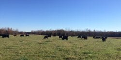 Cattle grazing in a pasture.