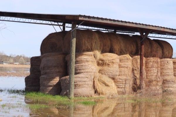 hay in flood waters