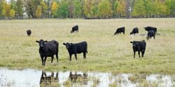 A herd of Black Angus cattle in the pasture.
