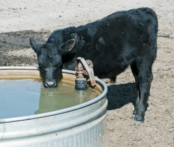 Black calf with flies on face drinking from water trough
