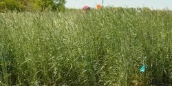 Figure 3. Rye cover crop. (Photo credit: United States Department of Agriculture National Soil Dynamics Laboratory)