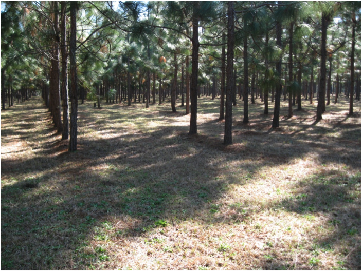 Figure 1. The widely spaced rows of longleaf pine in this stand are conducive to mechanical pine straw harvests. (Photo credit: Becky Barlow)