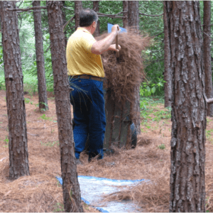 Figure 2. Hand raking pine straw in a planted longleaf pine stand in south Alabama. (Photo credit: Becky Barlow)
