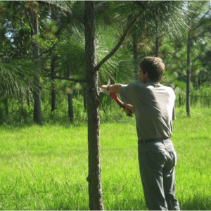 Figure 3. Hand pruning of lower branches facilitates mechanical harvesting of pine straw and can improve tree form. (Photo credit: Becky Barlow)