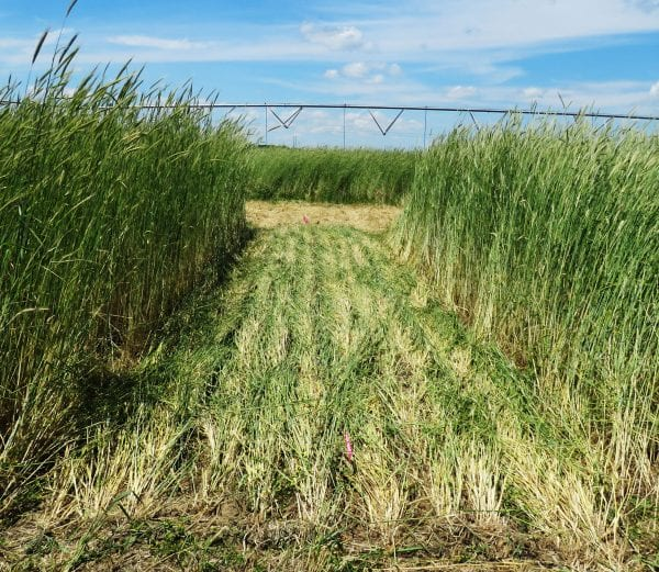 Figure 1. Rye cover crop. (Photo credit: United States Department of Agriculture National Soil Dynamics Laboratory)