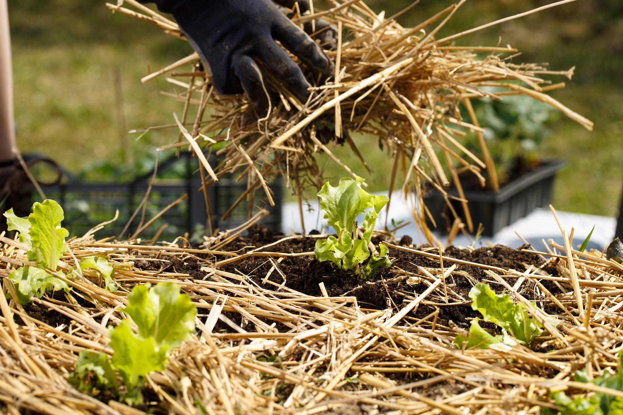 Mulching garden to reduce weeds