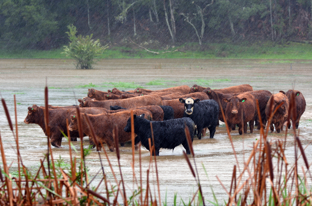 Cattle in a flooded pasture.