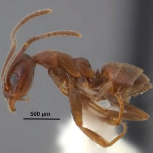 Figure 2. Argentine ant. Photo by Joe MacGown.