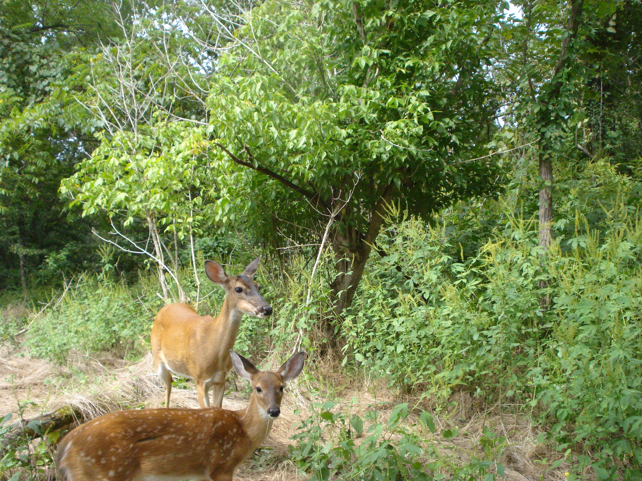 Doe & Fawn from game camera. Mark Smith