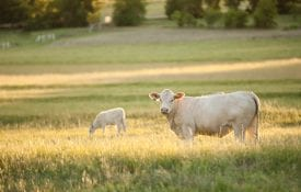 Mother Cow and baby calf in pasture at sunset. Mama cow looking at camera. Baby calf grazing in background