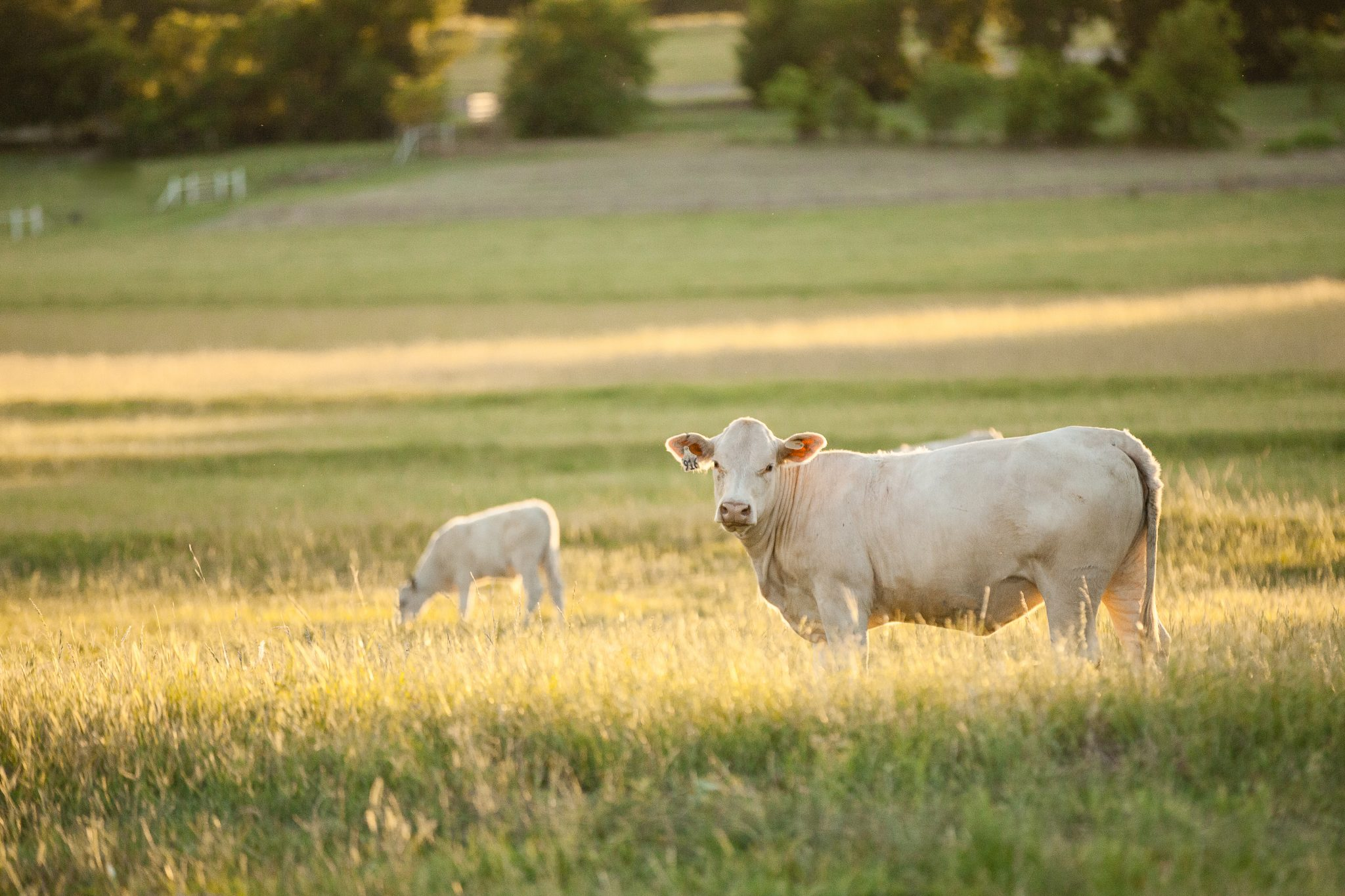 Cow - calf pair standing in a pasture.