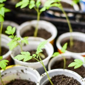 Seedlings of tomato vegetables in glasses. Preparation for transplantation in the greenhouse.