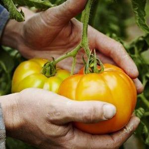 Farmer cradling organic heirloom tomatoes on vine in hands