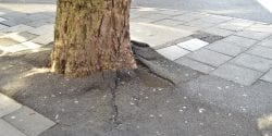Large tree roots growing up through a sidewalk causing the paving slabs and tarmac to crack and lift up.