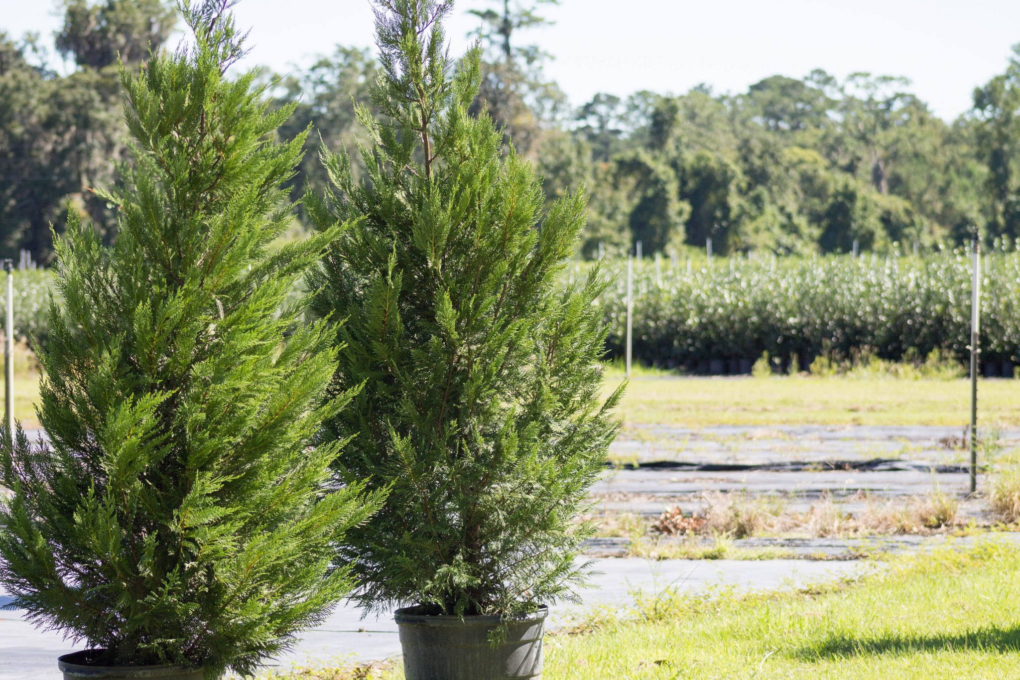 Leyland Cypress at the tree frm preparing to be loaded on the truck.