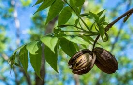 Pecan nuts from the previous season hanging among the new growth of spring.