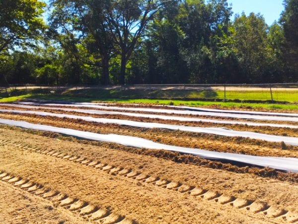 plastic mulch laid in field