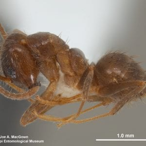 Figure 1. Under high magnification, TCA appear much hairier than the Argentine ant below.