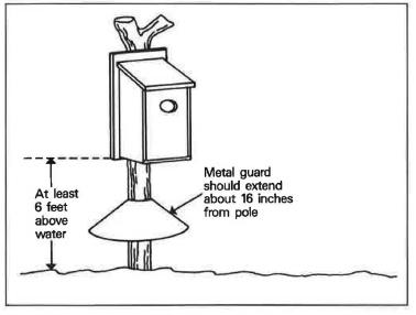 Erecting a wood duck nesting box