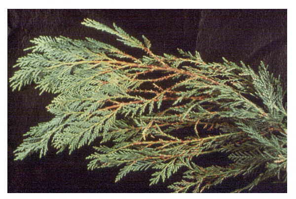 Yellowed foliage on branch of Leyland cypress damaged by Seridium canker. (Photo courtesy of L. Barnes, Texas A&M University.)