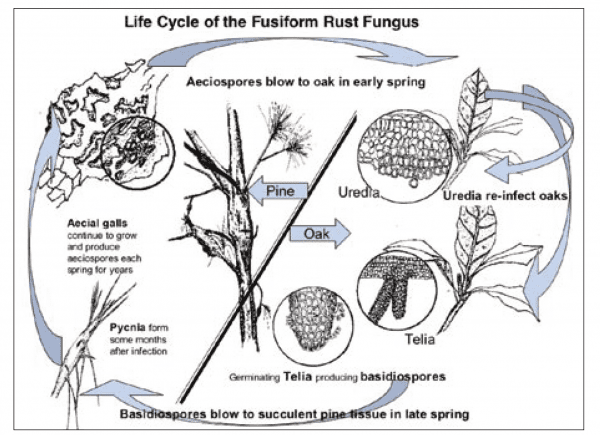 Life cyle of fusiform rust