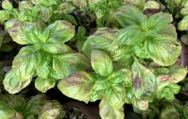 Basil downy mildew on transplants