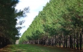 Pine trees planted in rows with large spaces between for livestock grazing.