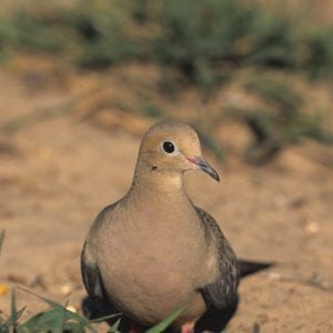 Figure 2. The mourning dove, Alabama's most popular game bird, prefers plantings of small grains.