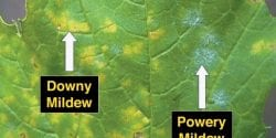 Comparison of Downy mildew and Powdery mildew on squash.