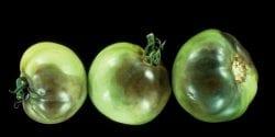 late blight on tomato