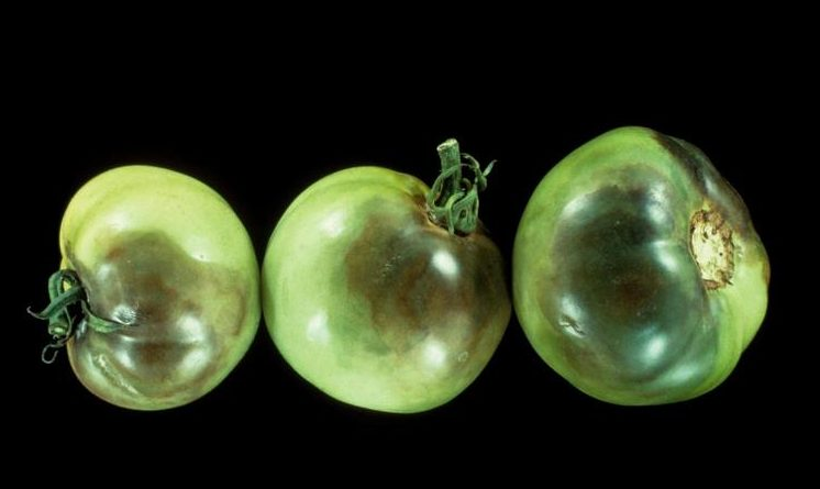 late blight on tomato