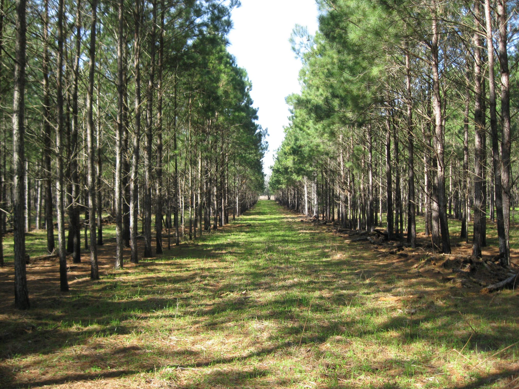 A longleaf pine stand and silvopasture.