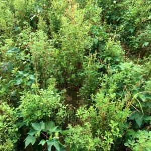 Palmer Amaranth Pigweed