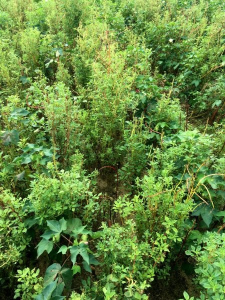 Palmer Amaranth Pigweed
