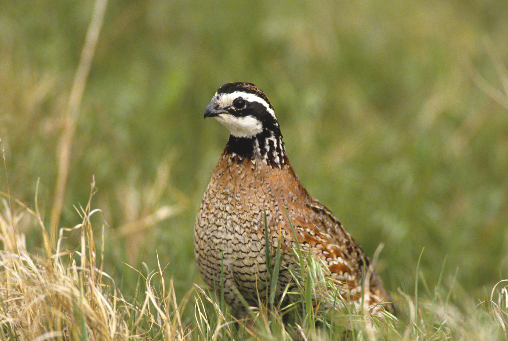 Figure 6. Native grasses such as big bluestem provide excellent cover for bobwhite quail