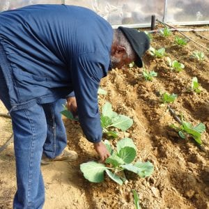 A man scouting for insects in a vegetable garden