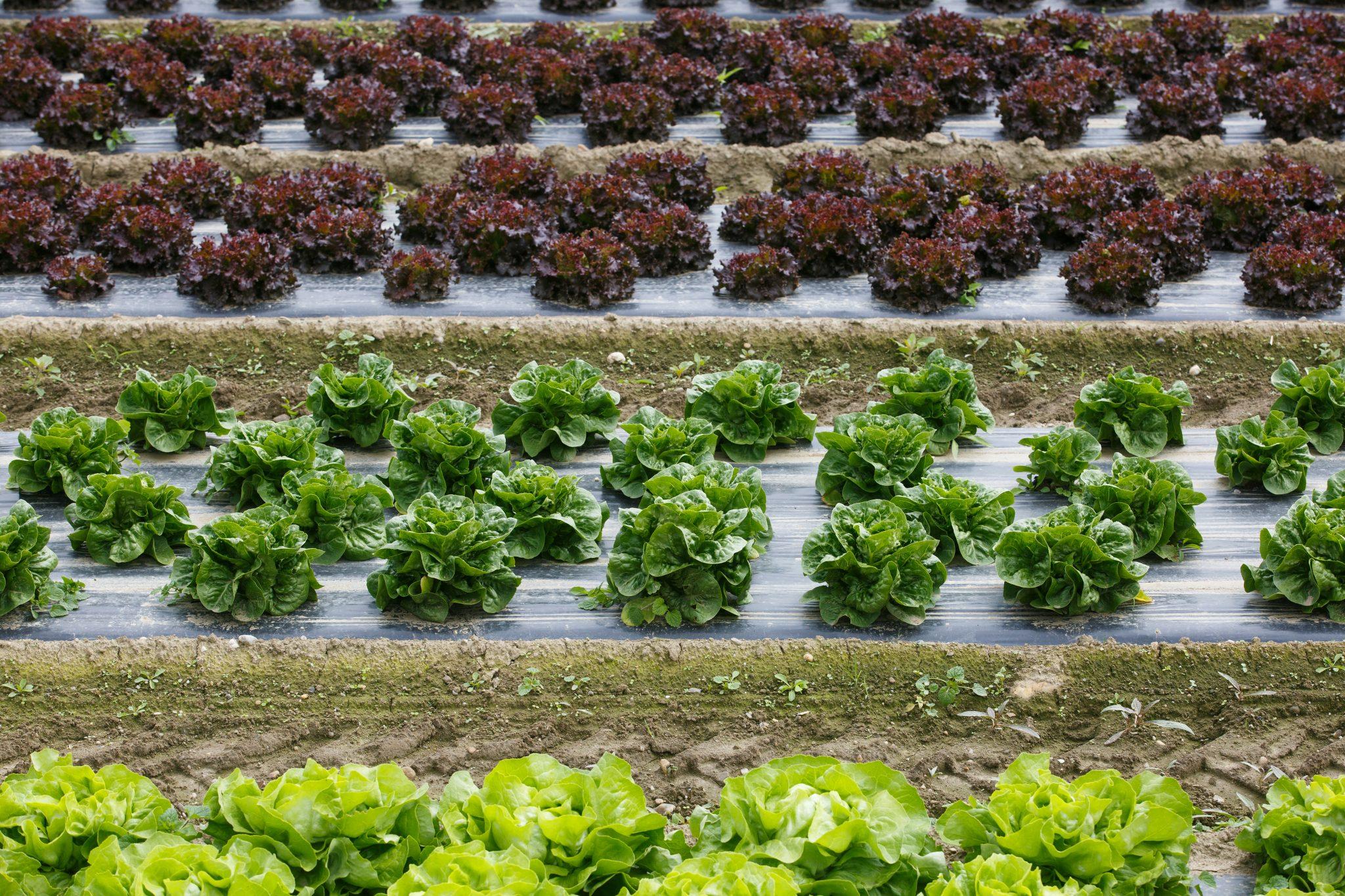 Lettuce growing on plastic mulch