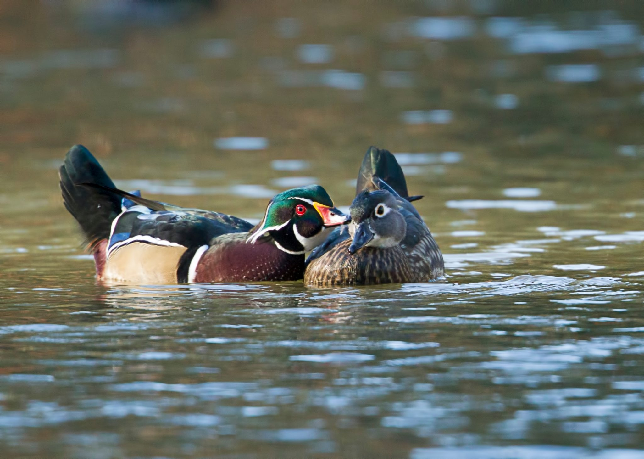 Wood ducks swimming