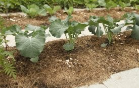Broccoli in raised bed.