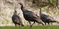 Figure 5. Food plots, especially if planted with chufa, can be used to attract turkeys.