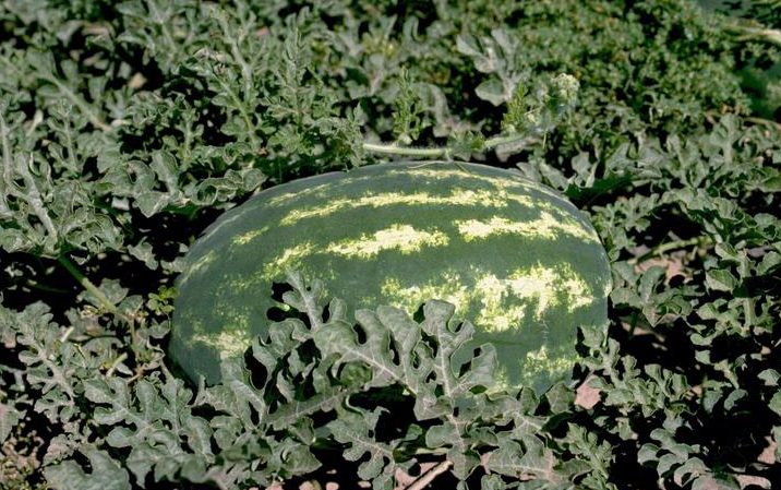 A watermelon in a field.