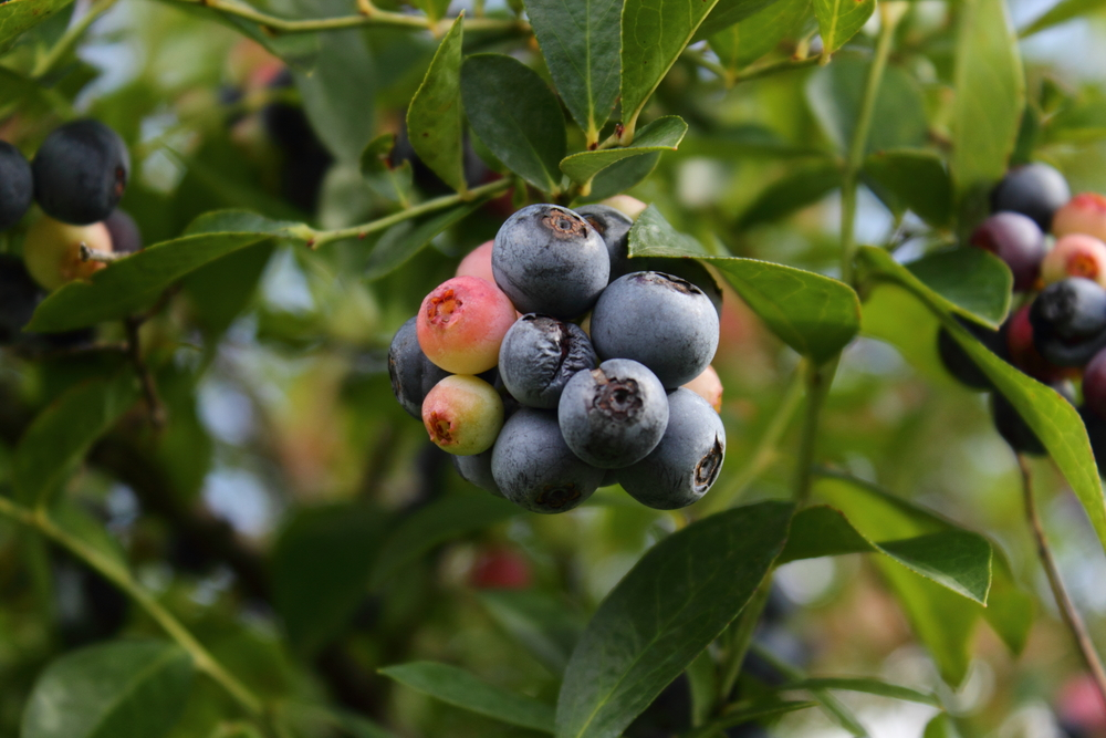 A bunch of blueberries on a bush.