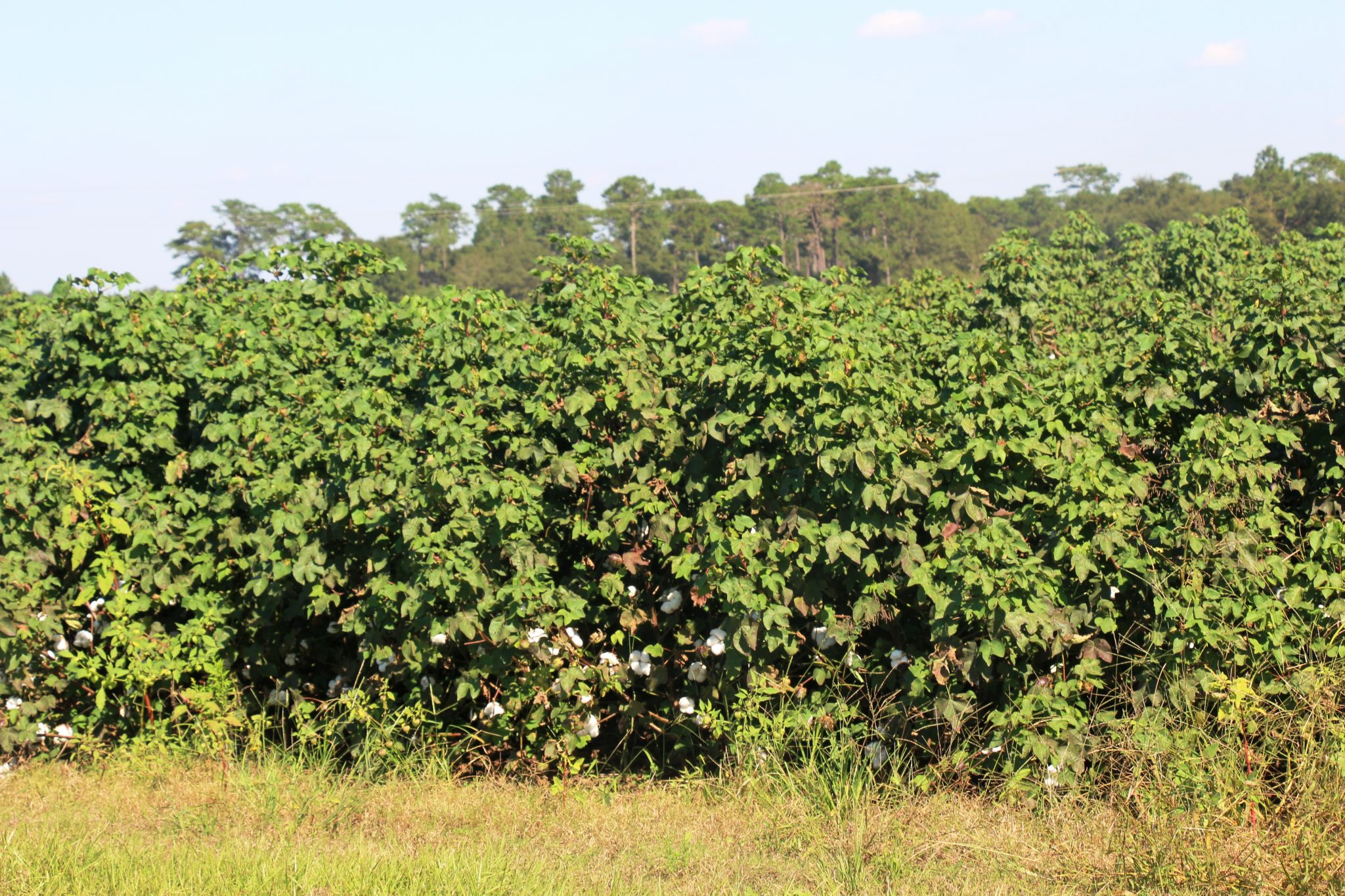 CLRDV-AL diseased cotton exhibiting the Christmas tree or pyramidal shape with elongated terminal shoots (accentuated verticality) with a dense leaf canopy. Notice the absence of blooms and open bolls in the upper canopy.