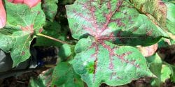 Red to maroon leaf midveins. Sample tested positive for Cotton Leaf Roll Dwarf Virus.