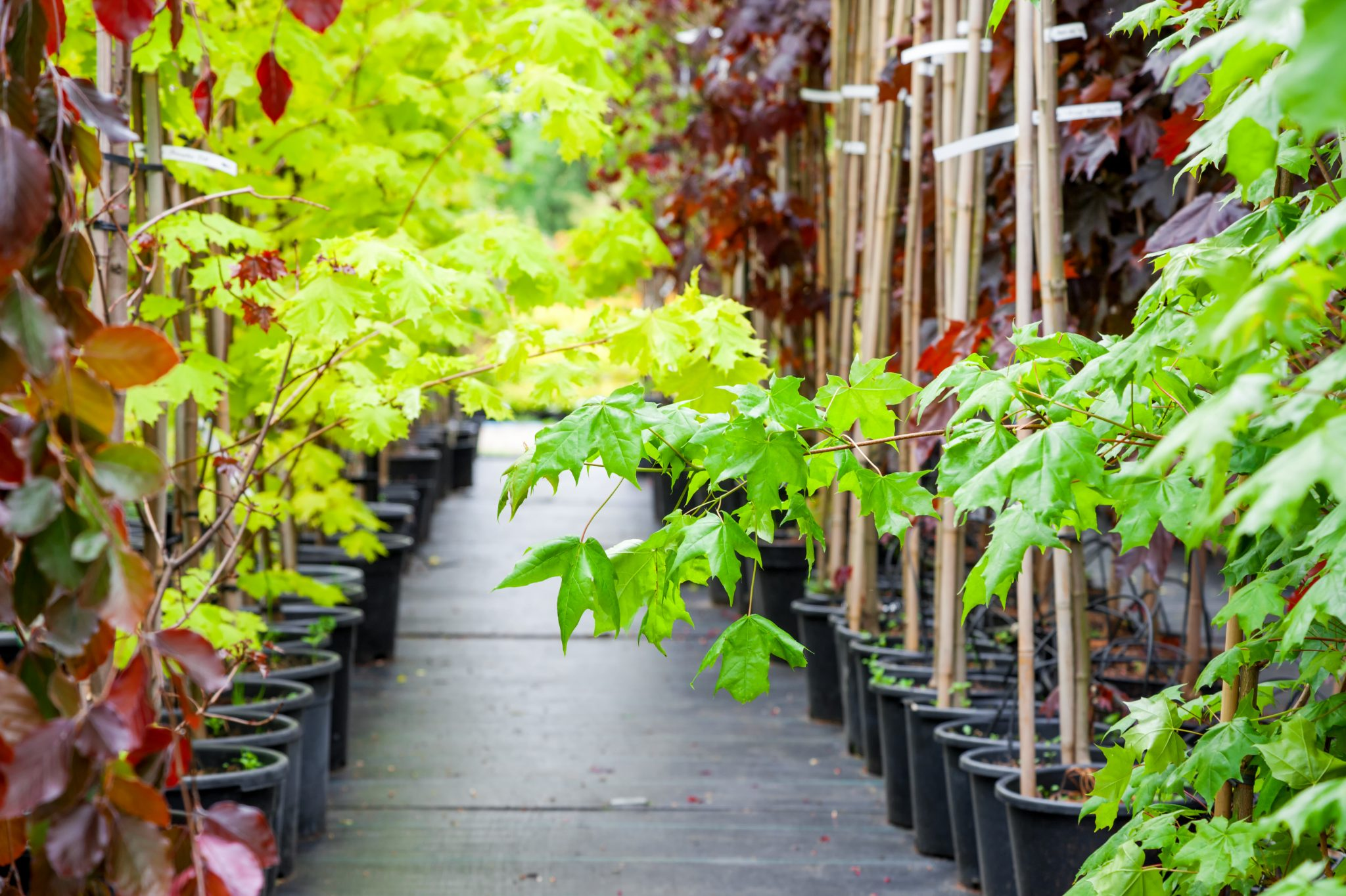 Rows of young maple trees in plastic pots on plant nursery